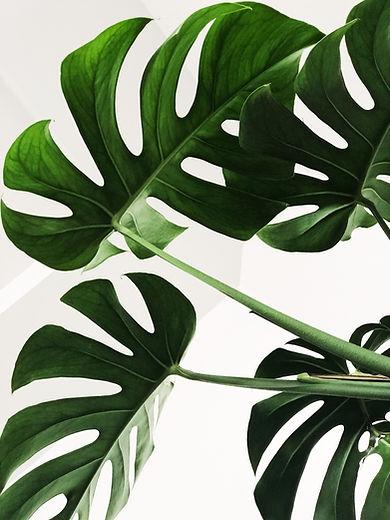 Image of Monstera plant