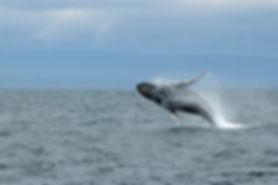 Baleine à bosse, Sámara