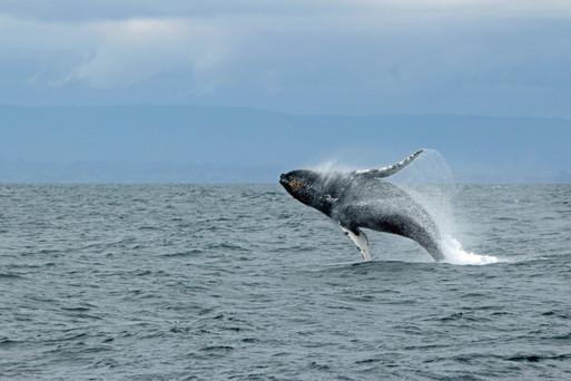 Baleine à bosse, photo de Ilse Orsel
