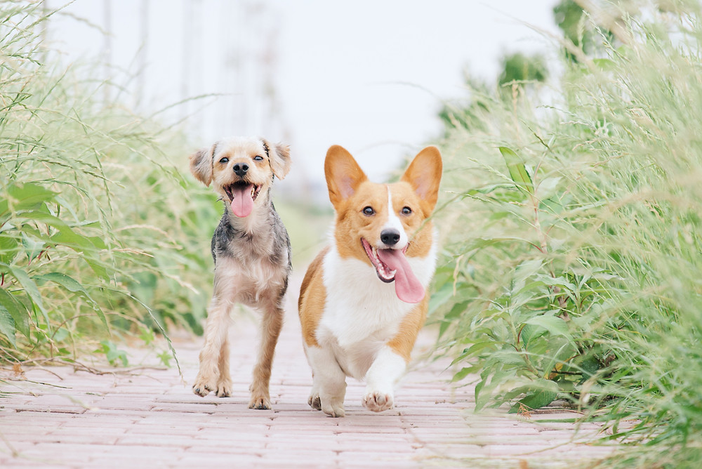 soul contract - two dogs in motion corgi and terrier