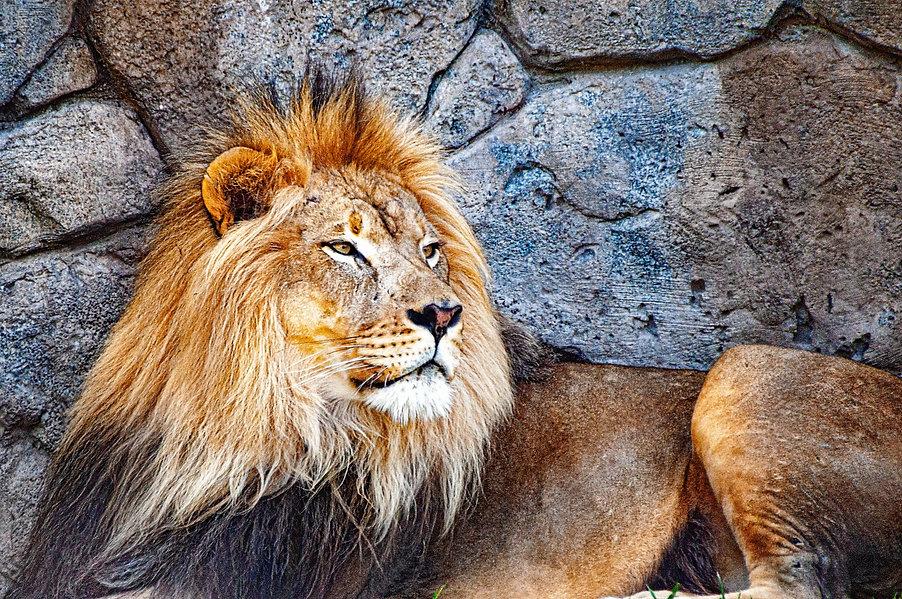 Animal Kingdom - Lion