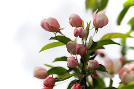 Photo of pink and white crabapple blossom in spring