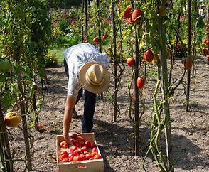 Image by Kamala Saraswathi. Man harvesting peppers