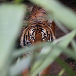 Communication animale : message du Tigre.
