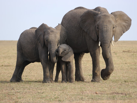 צביה גולן| פילים