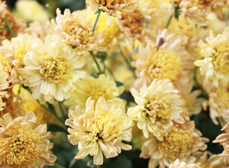 Why You Should Drink Chrysanthemum Flower Tea (菊花茶) This Summer