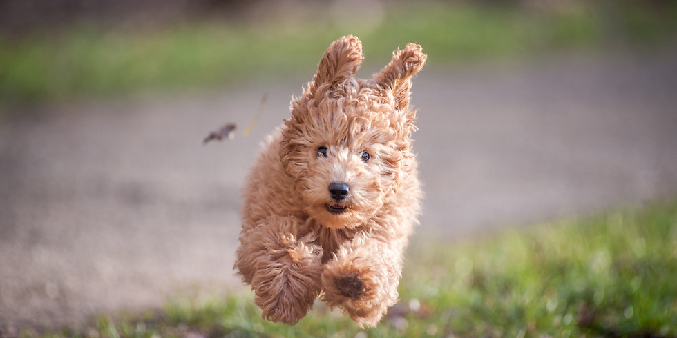 PUPPY TRAINING COURSE -   NOW FULL!