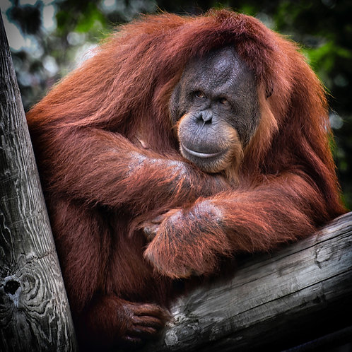 Restore Orangutan Habitat
