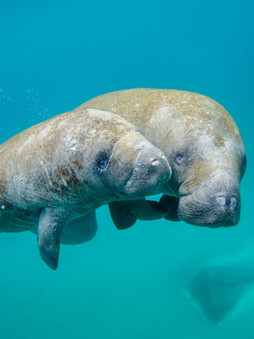 Top 5 Amazing Facts About Manatees!