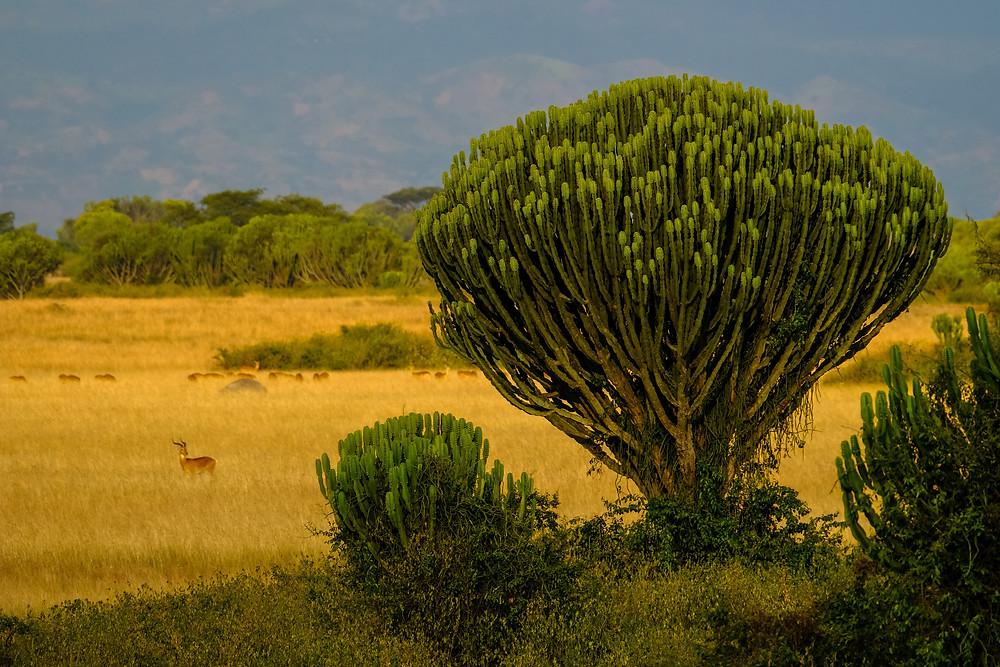 תמונה של עץ יפה מאוגנדה