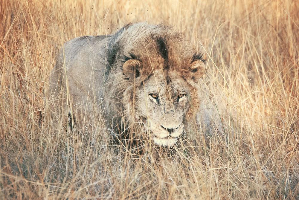 Lion stalking prey in high grass