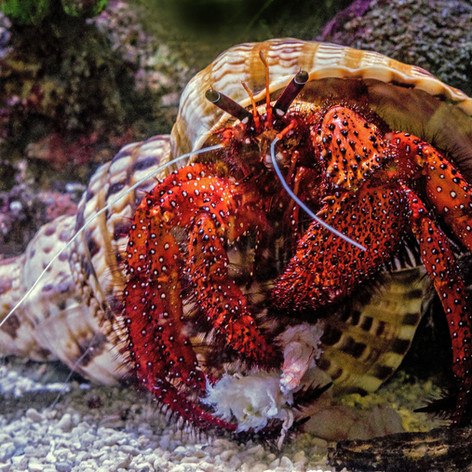There are species of hermit crabs that can grow the size of a coconut and live up to 70 years.  Common pet species can live up to 30 years!