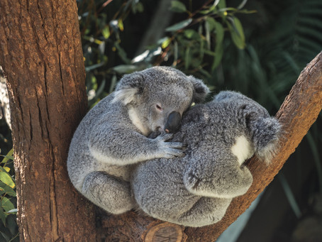 Help Save Our Koalas!