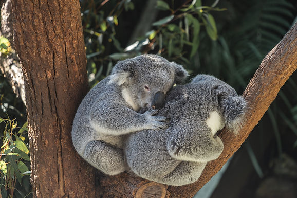 Help Save Our Koalas!