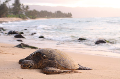 Saving the Sea Turtles
