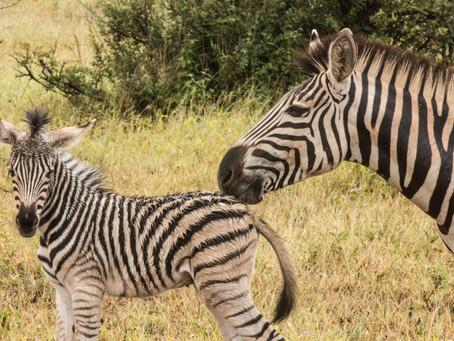 Notes for new zebras