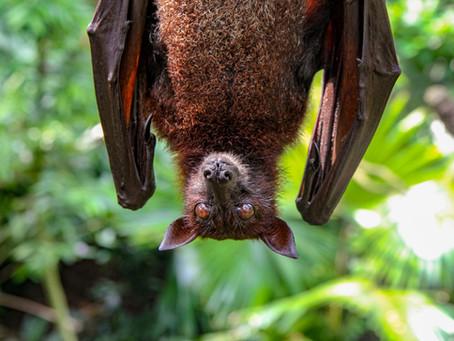 Paura dei pipistrelli? Ecco perché non dovresti