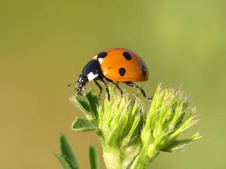 Beetles: The Unexpected Pollinators