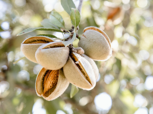 Why Are Almond Growers Uprooting Their Orchards?