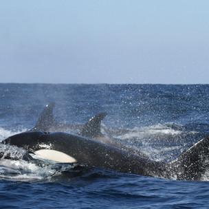Unbelievable Nature: The Orca