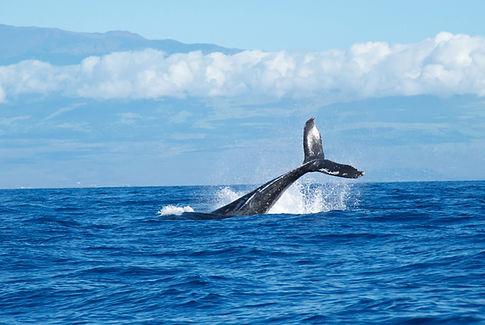 Whale watch in hawaii with a custom hawaiian travel plan