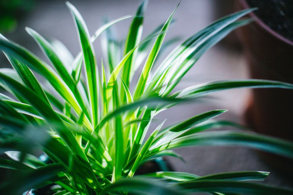 You can place the spider plant next to a well lit window in your house but avoid west facing windows.
