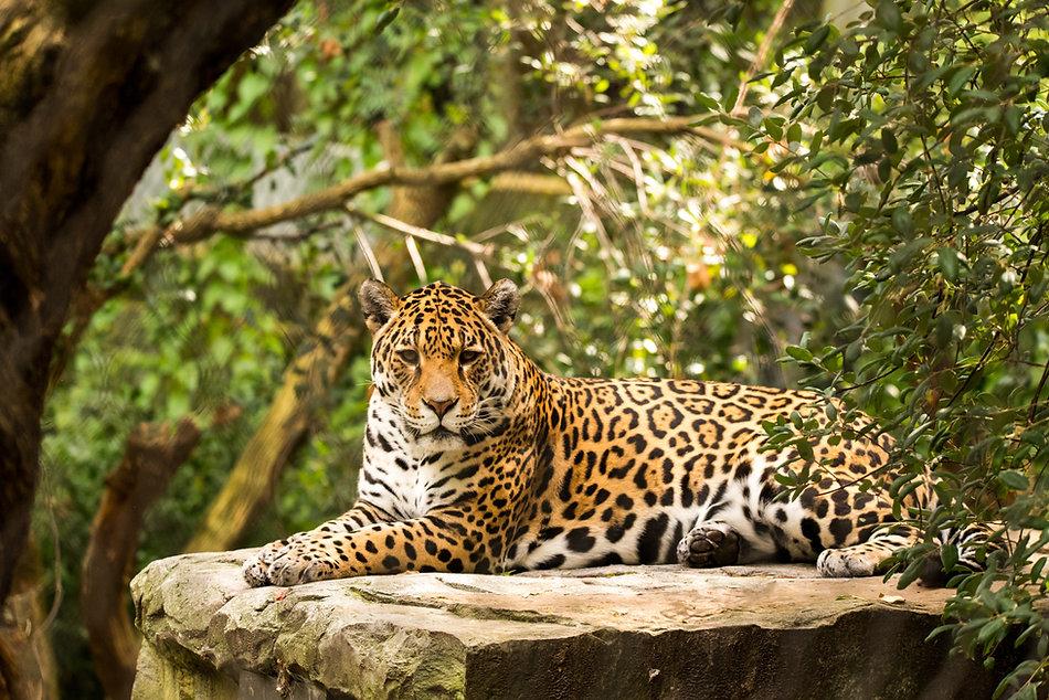Jaguar; Image by Ramon Vloon