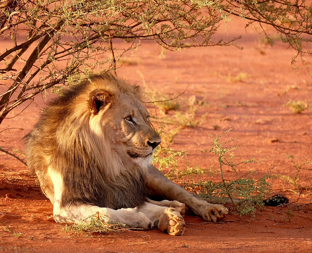 Spotting the desert lions in Namibia was on our Namibia travel bucket list