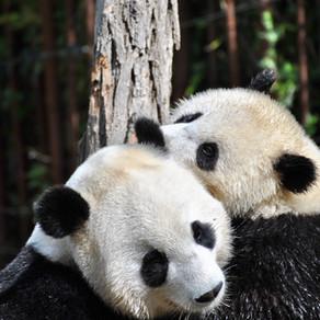 Panda's all the way to Pentecost!