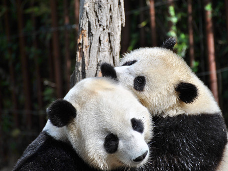 Panda Reproduction