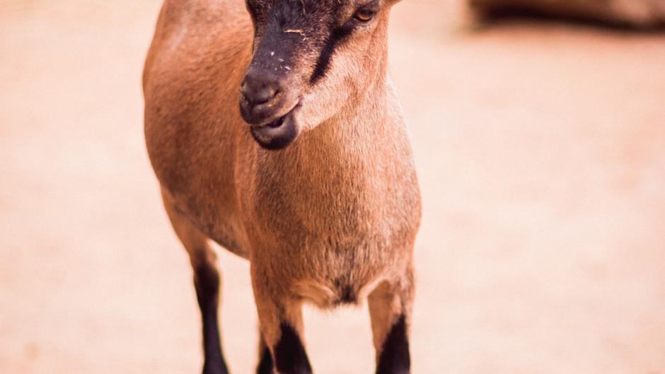 Bender the pet goat