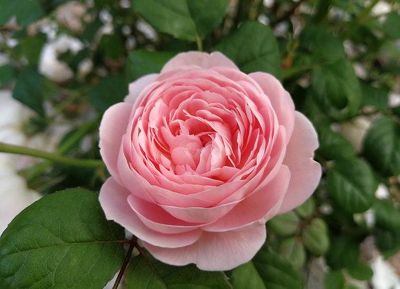 Damask Rose Hydrosol