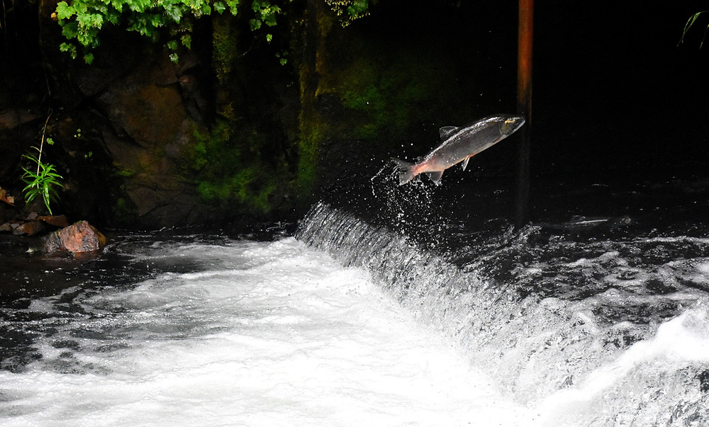 a leaping salmon