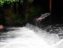 ¡Cómo salmón contracorriente, así me siento!