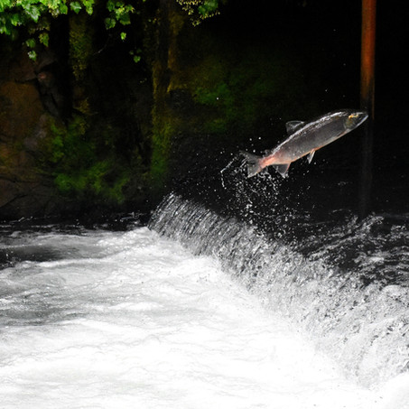 An Introduction and how to guide for  Salmon Fishing