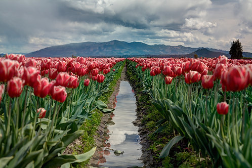 Through the Tulips