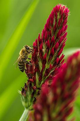 honey bee on red clover