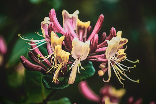 Peach Honeysuckle