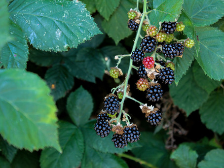 Nature as Guide: Blackberries and Bread Baking