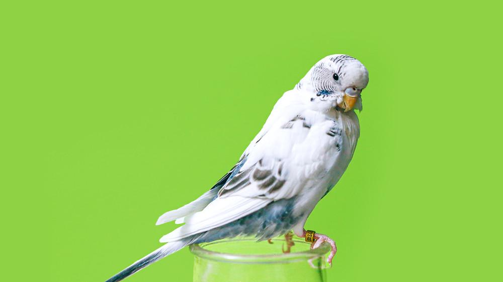 Budgie - Top 5 Friendly Pet Bird Species