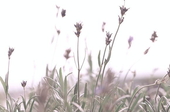 Lavender (Highland) 1400m