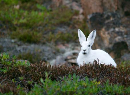 White Rabbit, white rabbit, white rabbit....