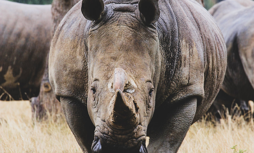 Black Rhinos Love Fractions and Decimals