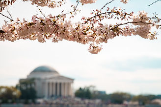 Cheery Blossoms Washington DC