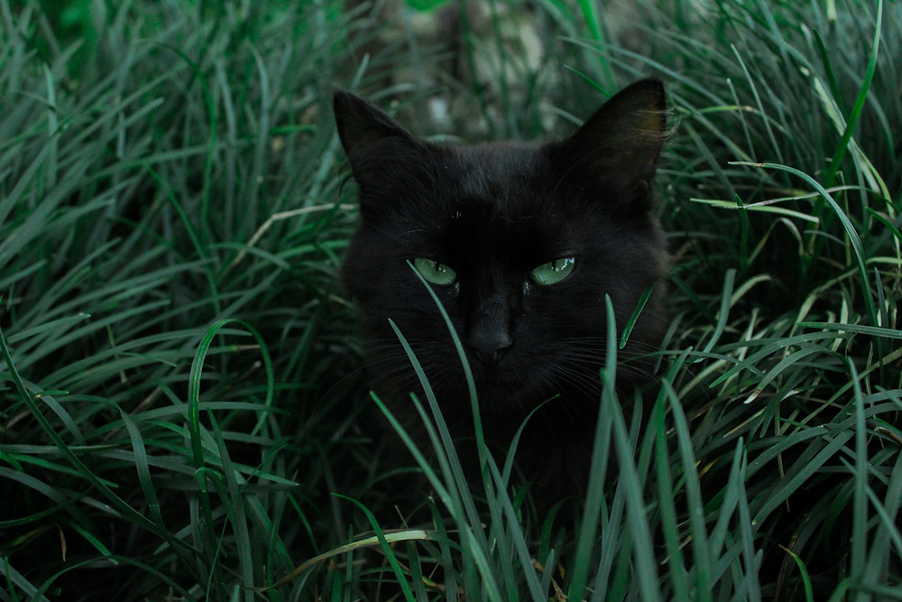 Pet cat laid in long grass