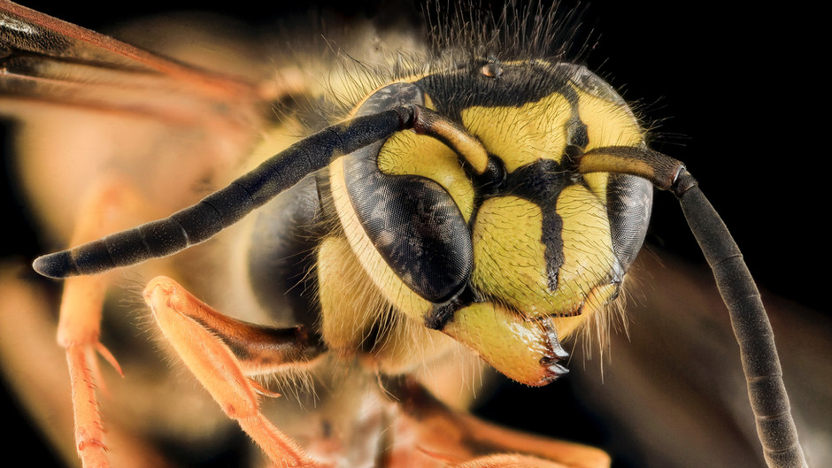 Wasps are as important to ecosystems and human health as bees, scientists say