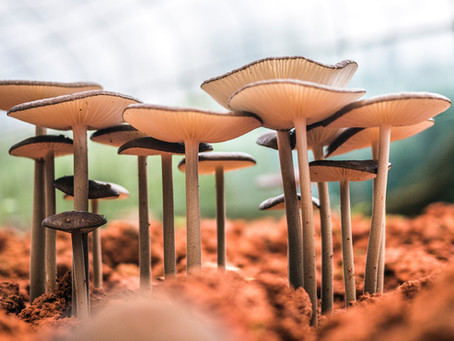 A Plastic Eating Mushroom has been Discovered.