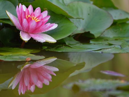 La fine fleur de la botanique : le Nénuphar