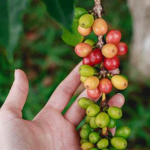 加工方法で違うコーヒー豆の味わい