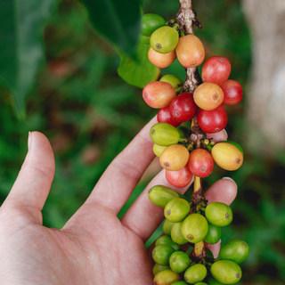 Shem Coffee Extract